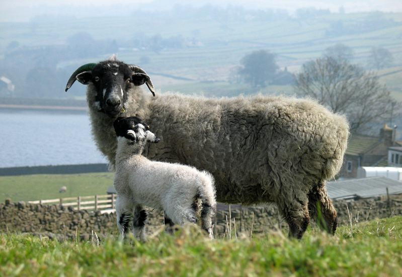Sheep and lamb at Ponden