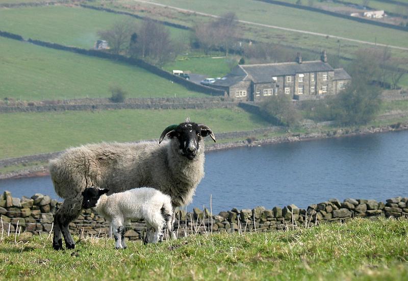 Sheep and lamb at Ponden