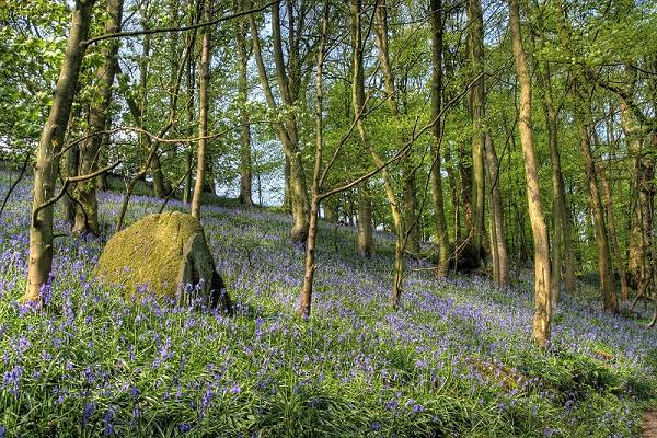 Bluebells at Bolton Abbey