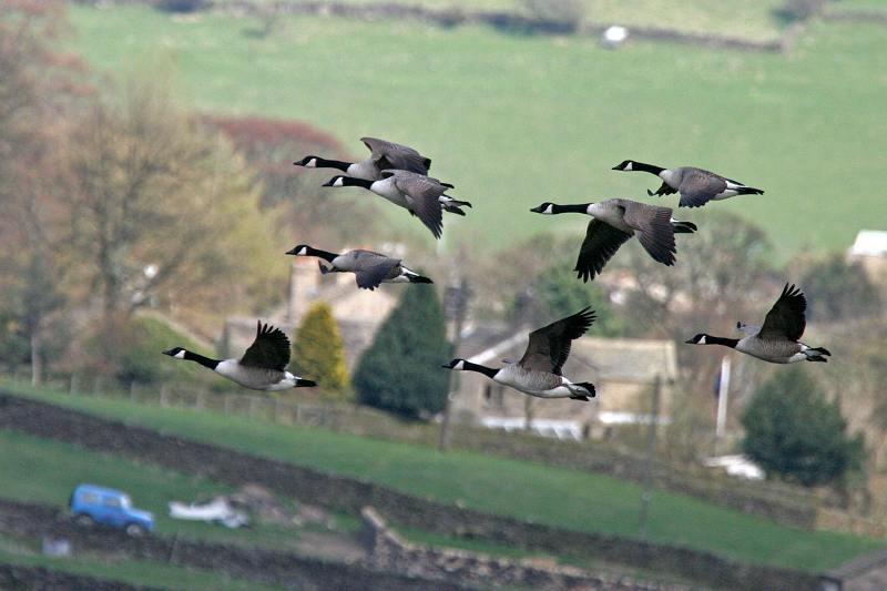 Canada Geese, Leeshaw reservoir