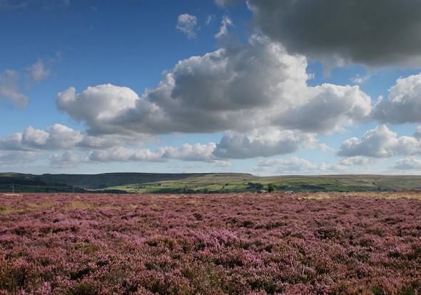 Purple Heather at Penistone