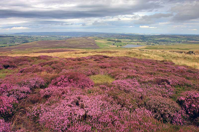 Purple heather from Oxenhope Stoop hill