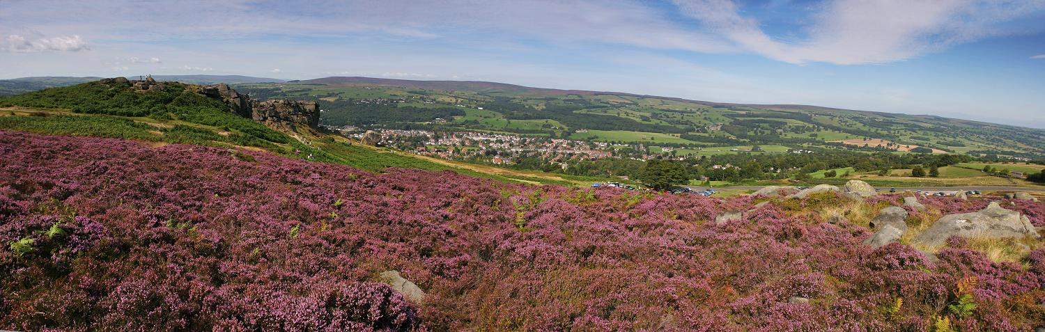 Ilkley moor, purple heather panorama