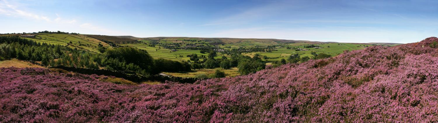 Oxenhope, purple heather panorama