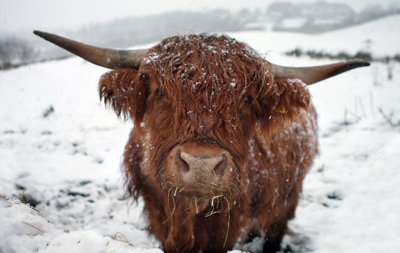 Highland cow at Greenfields