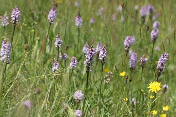 Spotted Orchids at Penistone