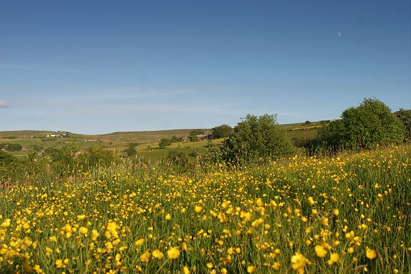 Field of buttercups, Oxenhope