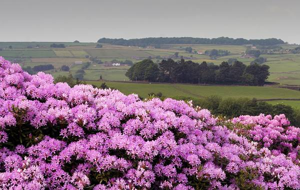Rhododendrons at Lower Laithe waterworks