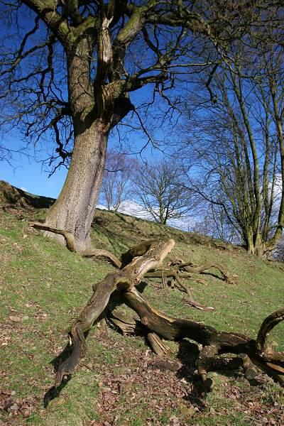 Wind damaged tree, Haworth