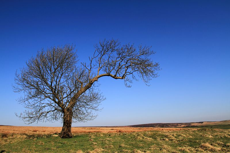 Lonely tree on Keighley moor