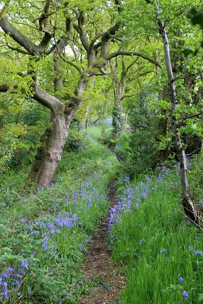 Bluebells near Lumb Foot