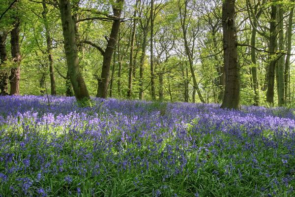 Bluebells at Middleton woods, Ilkley