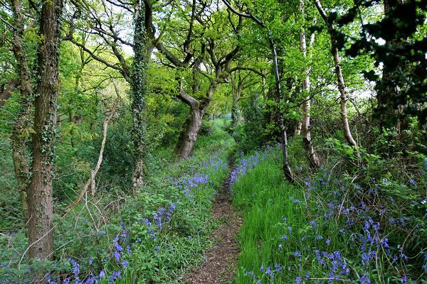 Bluebells near Lumb Foot