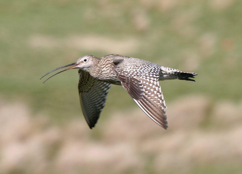 Curlew on Haworth moor