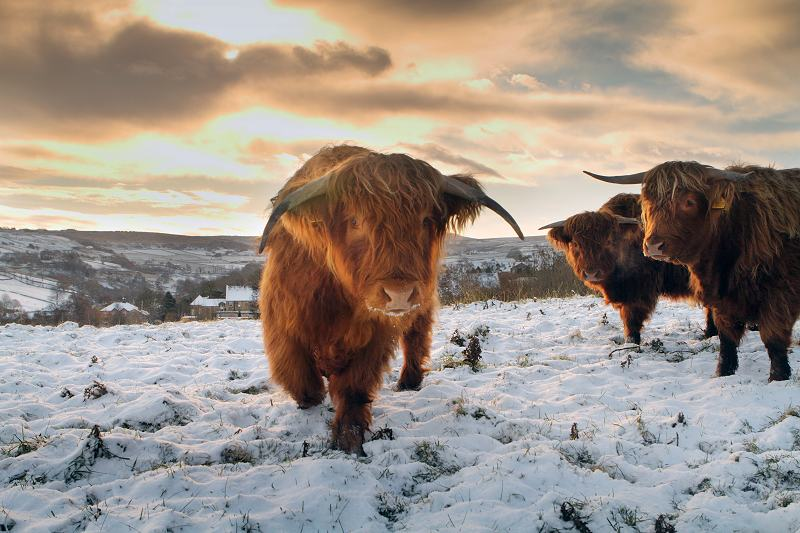 Highland Cows at Greenfields