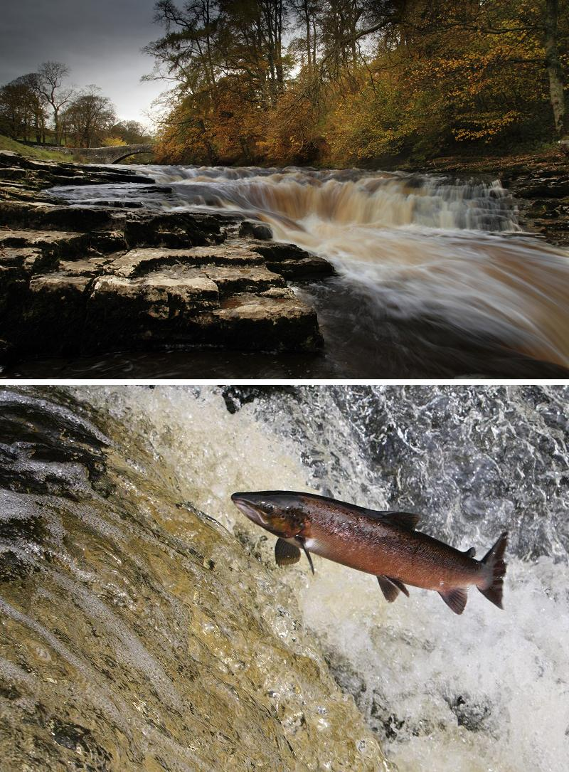 Salmon Leaping and Ribble river, Stainforth