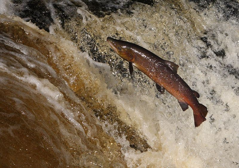 Salmon Leaping at Ribble river Stainforth