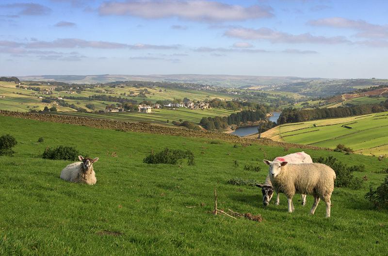 Sheep on Stanbury Moor