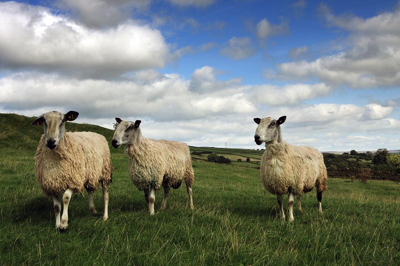 Sheep near Lumb Foot
