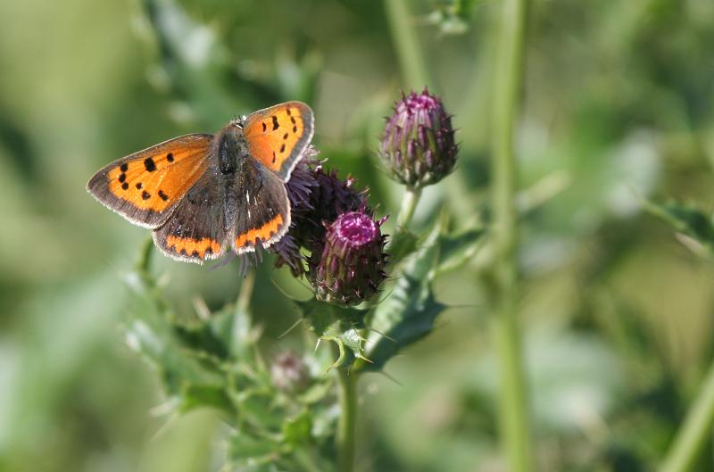 Butterfly, Small Copper feeding