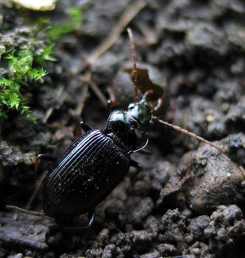 Beetle, common