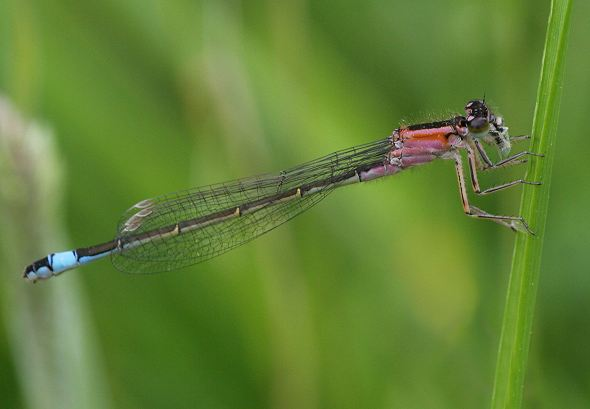 Damselfly - Blue-tailed female