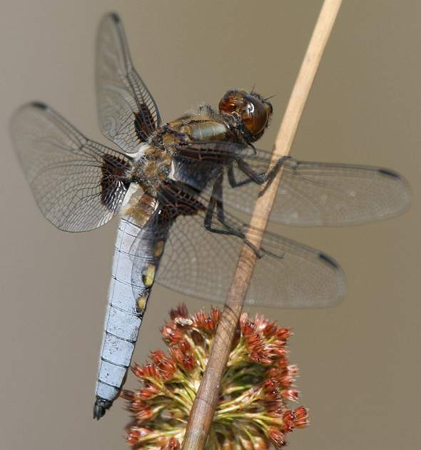Dragonfly Broad-bodied Chaser, male