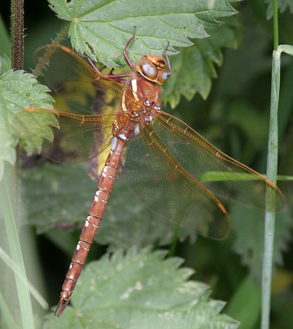 Dragonfly Brown Hawker