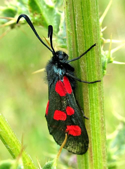 Burnet - 5 spot Moth