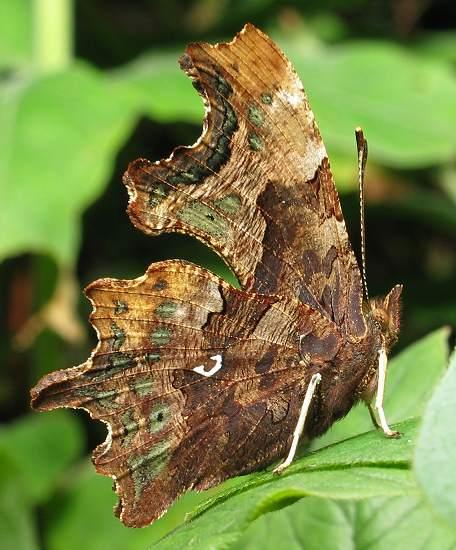 Comma - wings folded