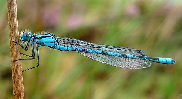 Damselfly - Common Blue male
