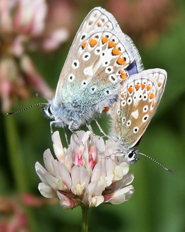 Common Blue (Mating)