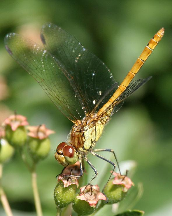 Dragonfly - Common Darter, female