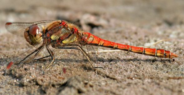 Dragonfly - Common Darter, male