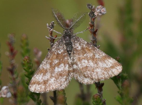 Common Heath