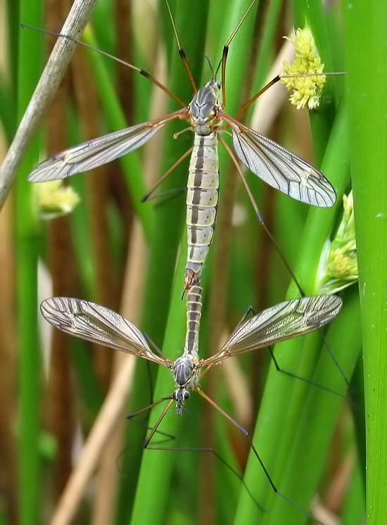 Cranefly or Daddy-long-legs