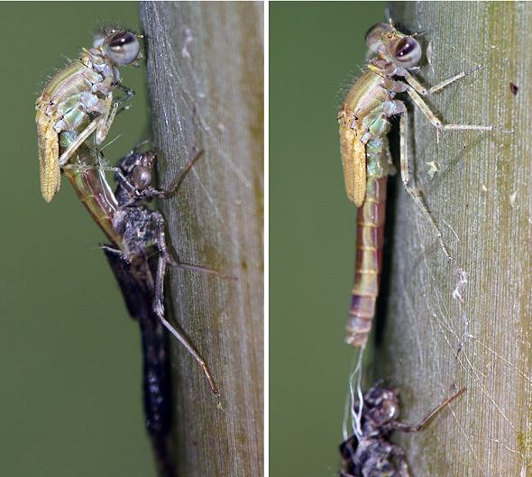 Damselfly life cycle 6 - Emerging from exuvia