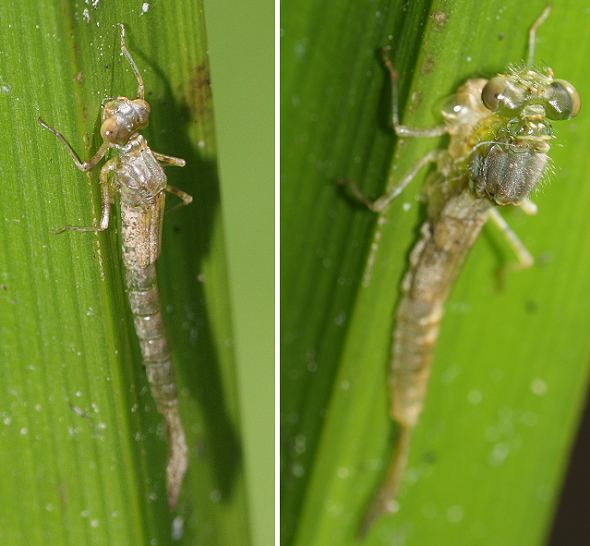 Damselfly life cycle 5 - Leaving the water