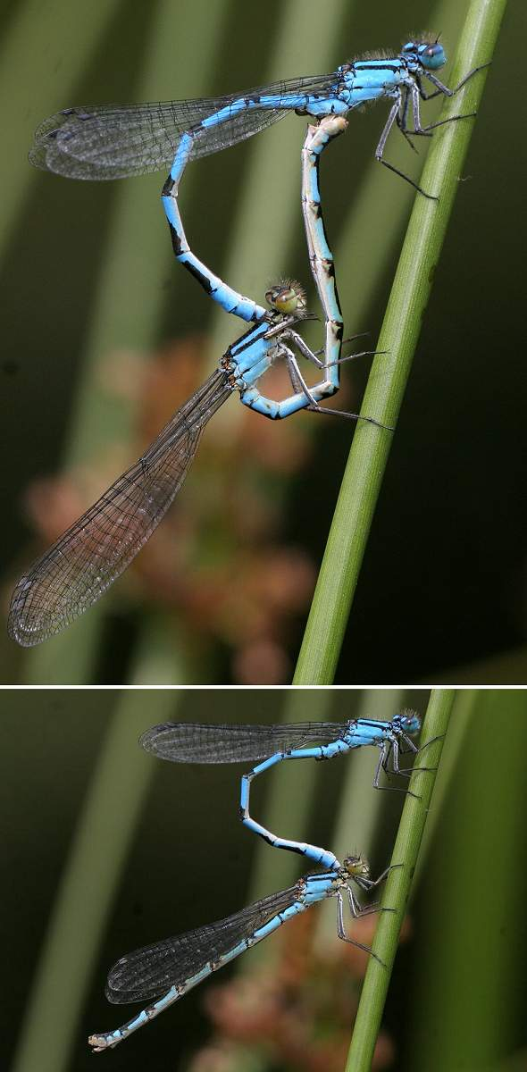 Damselfly life cycle 1 - Mating