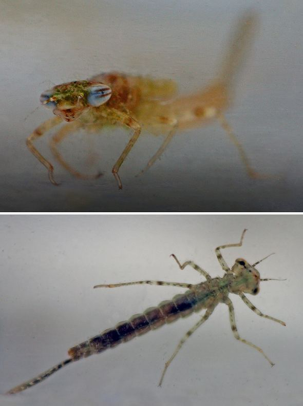 Damselfly life cycle 4 - Nymph