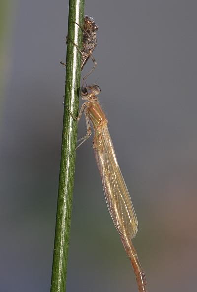 Damselfly life cycle 9 - Emergence complete
