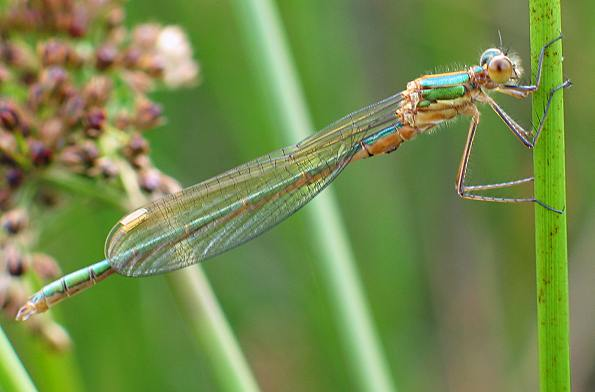 Damselfly - Emerald female