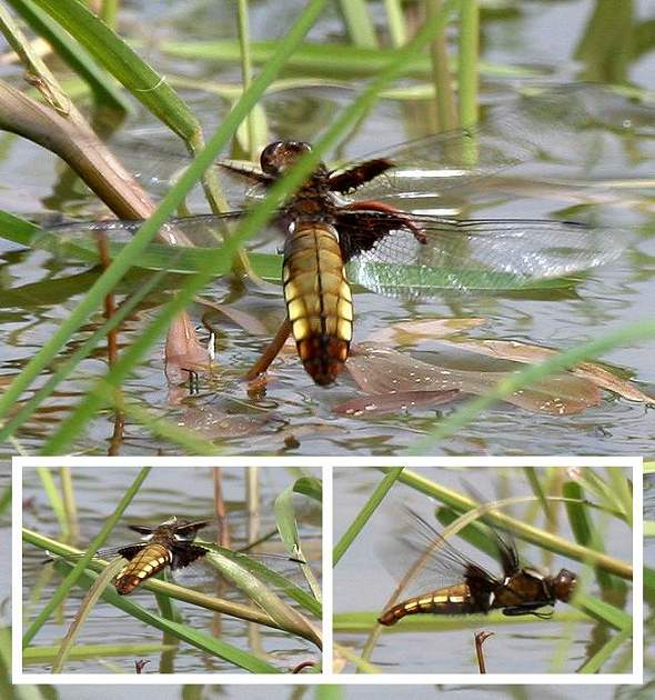 Dragonfly Broad-bodied Chaser, female