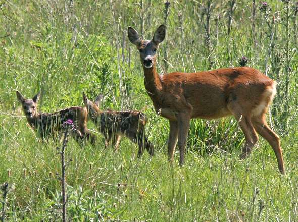 Roe Deer - Female with fawns