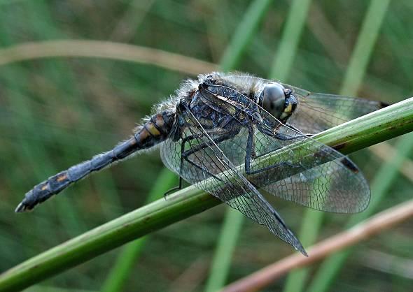 Dragonfly - Black Darter - male
