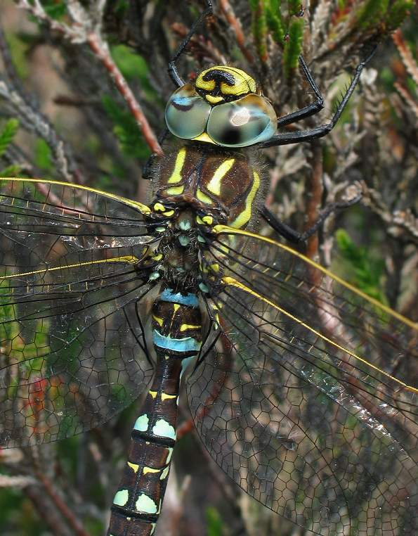 Dragonfly - Common Hawker, male