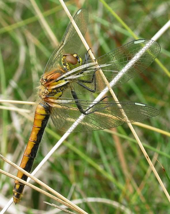 Dragonfly - Black Darter - female