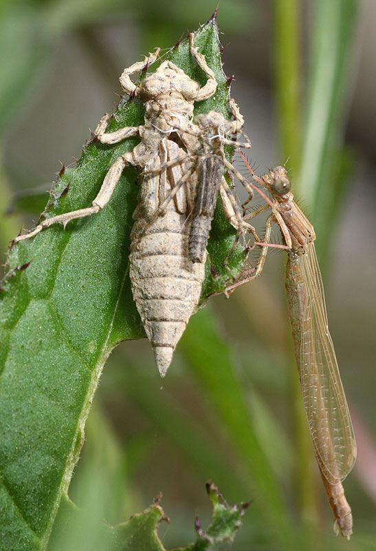 Dragonfly exuvia 2