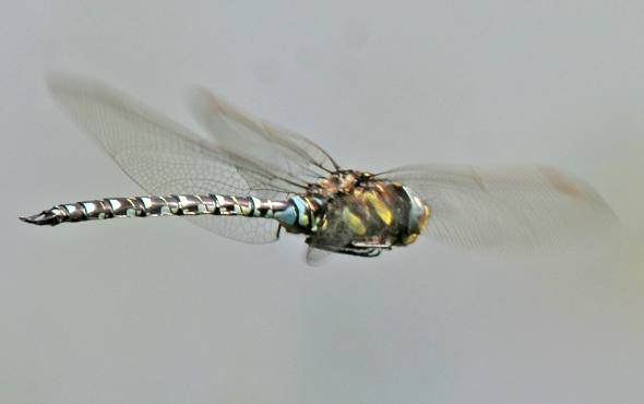 Dragonfly flying 6