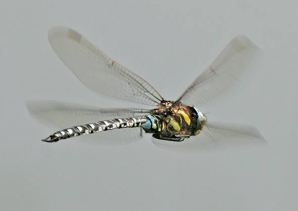 Dragonfly flying 7